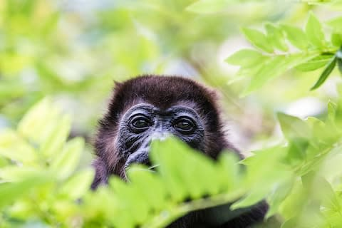 A howler monkey - Credit: GETTY