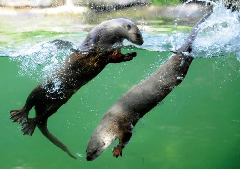 Canadian sea otters swim on June 5, 2012 in the zoo of Amneville, eastern France