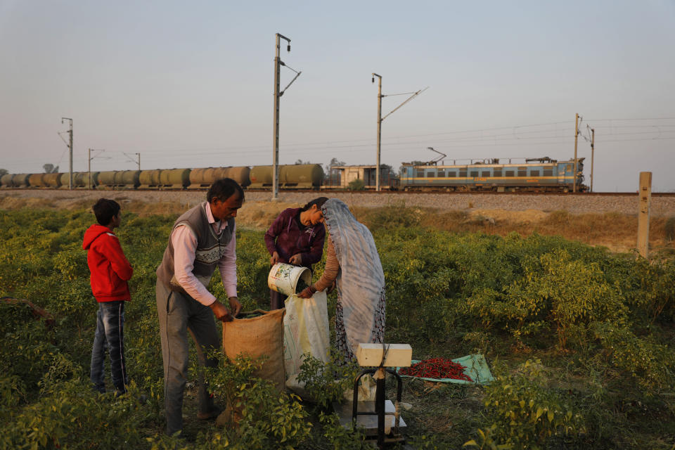 Family members help Indian farmer Ram Singh Patel, left, to fill the sacks of freshly yielded chillies at their farm in Fatehpur district, 180 kilometers (112 miles) south of Lucknow, India, Saturday, Dec. 19, 2020. Patel's day starts at 6 in the morning, when he walks into his farmland tucked next to a railway line. For hours he toils on the farm, where he grows chili peppers, onions, garlic, tomatoes and papayas. Sometimes his wife, two sons and two daughters join him to lend a helping hand or have lunch with him. (AP Photo/Rajesh Kumar Singh)