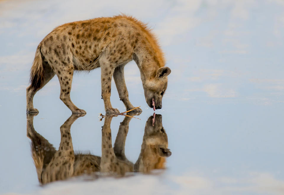 <p>A hyena kisses his own reflection while appearing to walk on water. (Photo: Jake De Wet/Caters News) </p>
