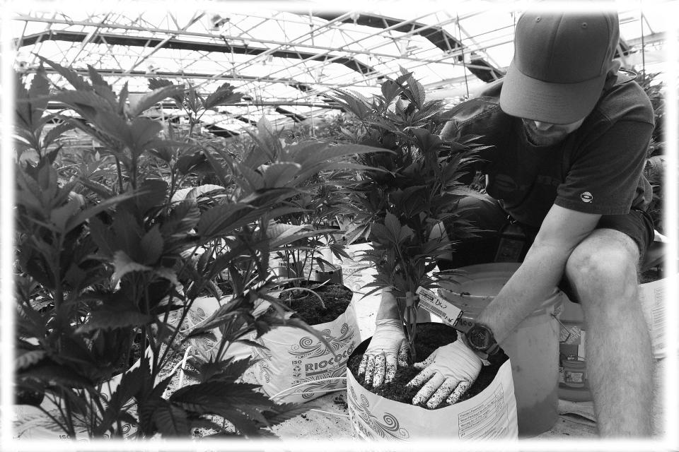 A marijuana grower puts marijuana plants in fresh soil and buckets in the greenhouse at MMJ America cannabis growing facility in Denver, Colorado in 2018. (Photo: Helen H. Richardson/The Denver Post via Getty Images; digitally enhanced by Yahoo News)