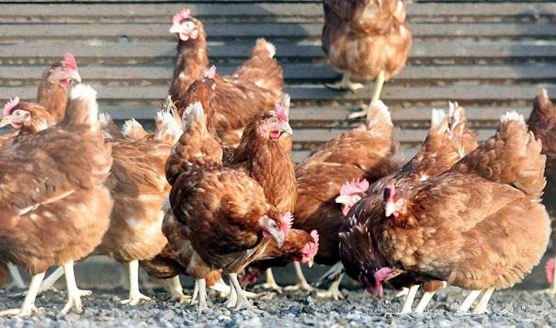 "Embargoed to 2000 Monday September 30 File photo dated 21/02/06 of chickens in a poultry farm. Hens that cannot produce their own chicks have successfully acted as ""surrogates"" to lay eggs from rare chicken breeds."