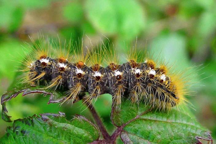 Close-up view of Browntail moth caterpillar on a leaf. / Credit: State of Maine Department of Health and Human Services