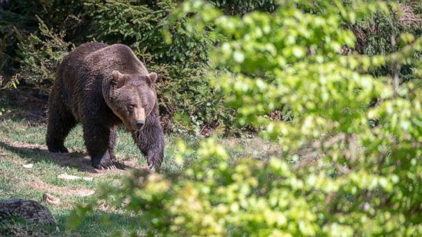 PHOTO: NEUSCHONAU, GERMANY - APRIL 27, 2018: A young bear captured playing in Bavarian Forest, on April 27, 2018 in Neuschonau, Germany. (Ingo Gerlach/Barcroft Media via Getty Images)