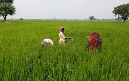 Labourers remove dried grass from a rice field on the outskirts of Ahmedabad