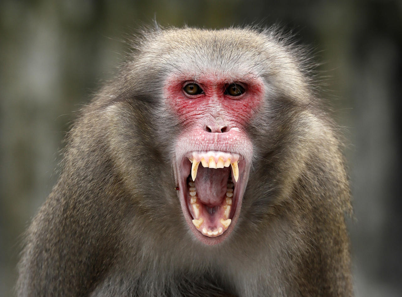 <p>A Japanese macaque (Macaca fuscata) opens its mouth in Wilhelma Zoo in Stuttgart, Germany, Jan. 11, 2017. (Photo: RONALD WITTEK/EPA) </p>