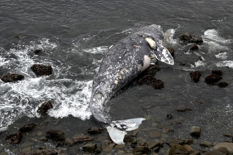 A dead gray whale near Pacifica State Beach on May 14. (Photo: Justin Sullivan via Getty Images)
