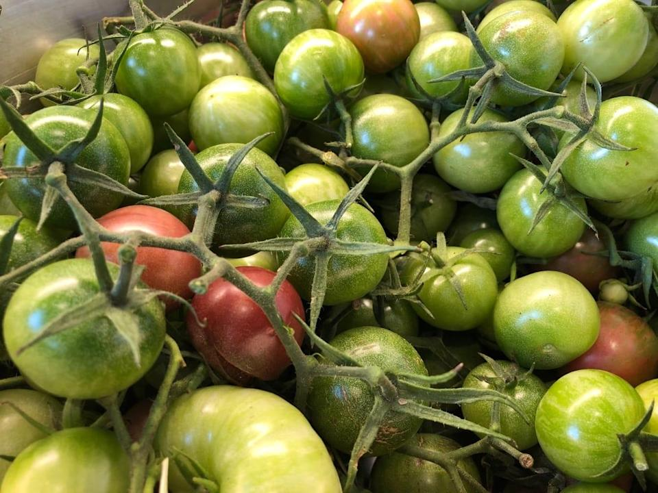 Hallie Cotnam's harvest of green tomatoes was overwhelming this October, so she asked CBC Radio listeners for help. (Hallie Cotnam/CBC - image credit)