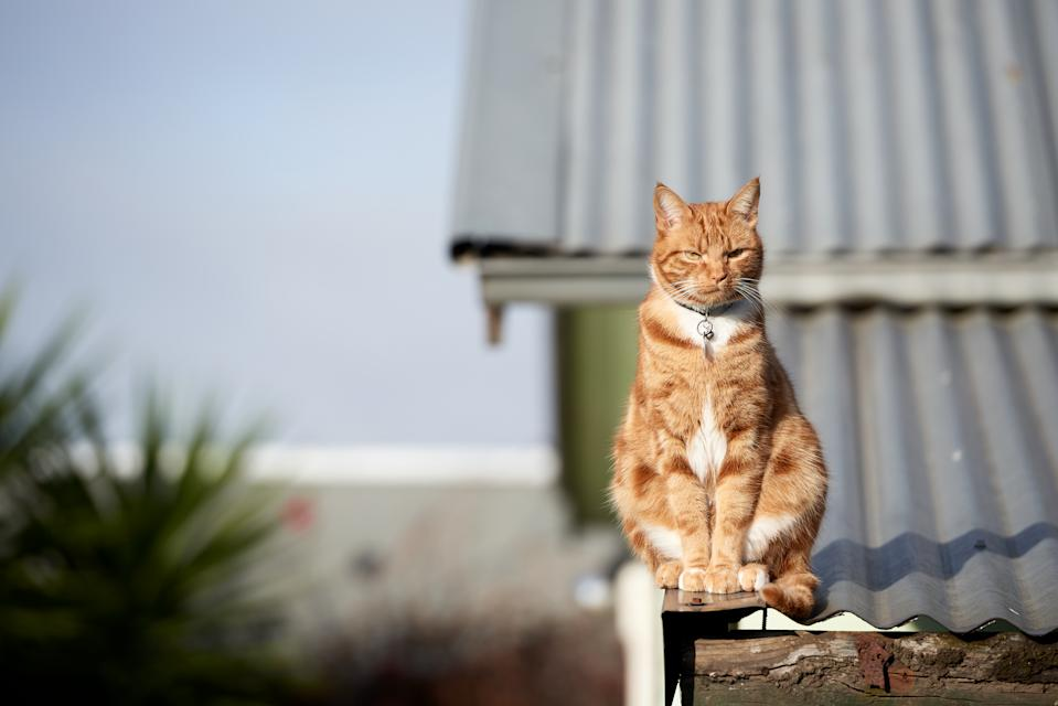 Ginger red cat sitting straight on to camera in a suburban setting enjoying the afternoon sun.