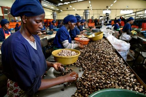 Ivory Coast is the world's biggest grower of cashews -- it now hopes to develop the processing side of the industry, to create jobs and wealth