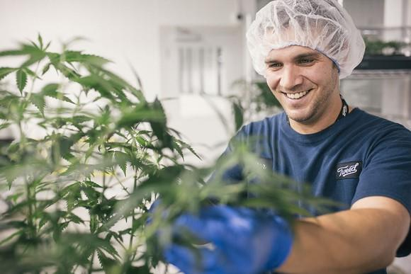 Worker wearing Tweed uniform, hairnet, and gloves working on a cannabis plant in a white room.