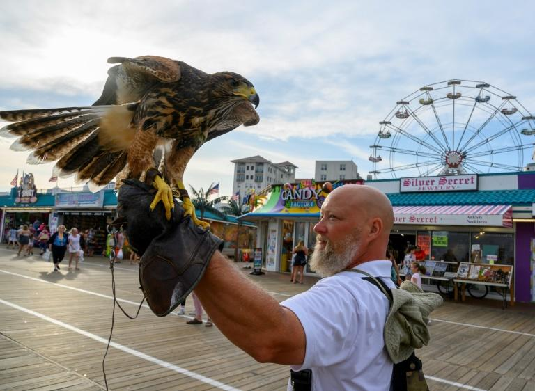 Falconer PJ Simonis walks the boardwalk with one of his Harris's hawks in Ocean City (AFP Photo/Don Emmert)