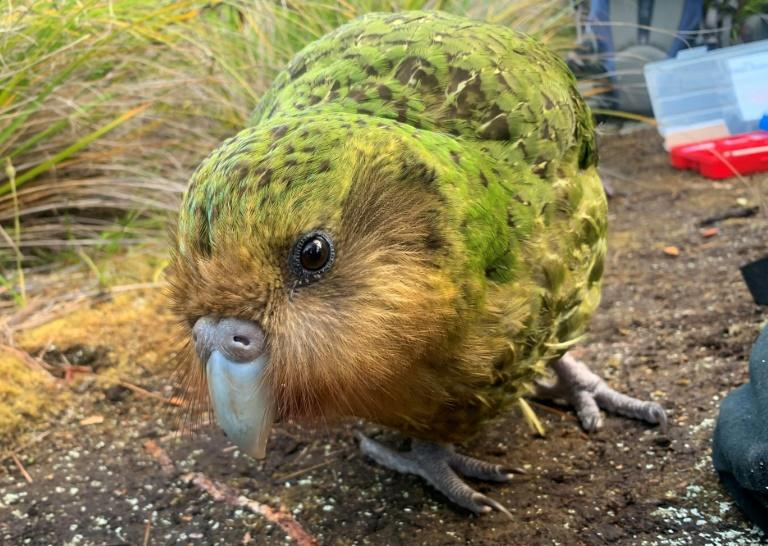 The flightless noctural kakapo was thought to be extinct just 50 years ago but its numbers are on the rise after a record breeding season