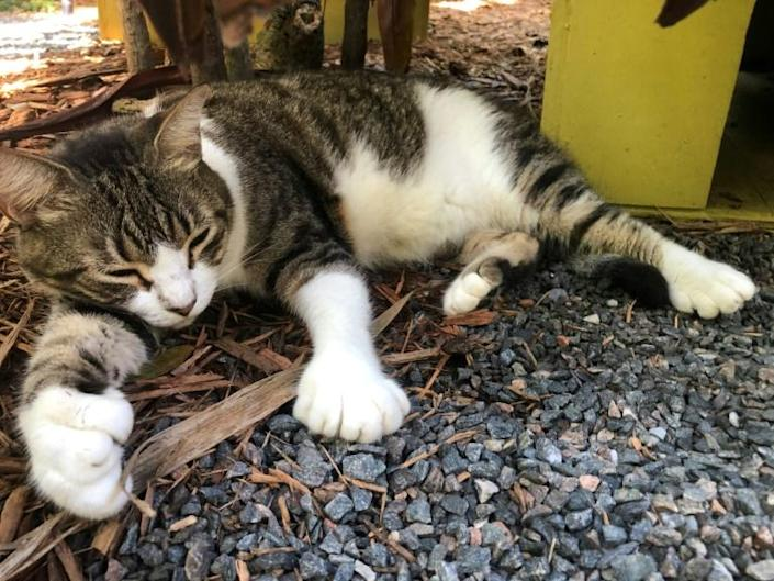 Billy Holliday, one of the six-toed cats of the Ernest Hemingway Home and Museum, where the American writer and 1954 Nobel prize winner lived with his wife Pauline in the 1930s in Key West, Florida on August 30, 2020