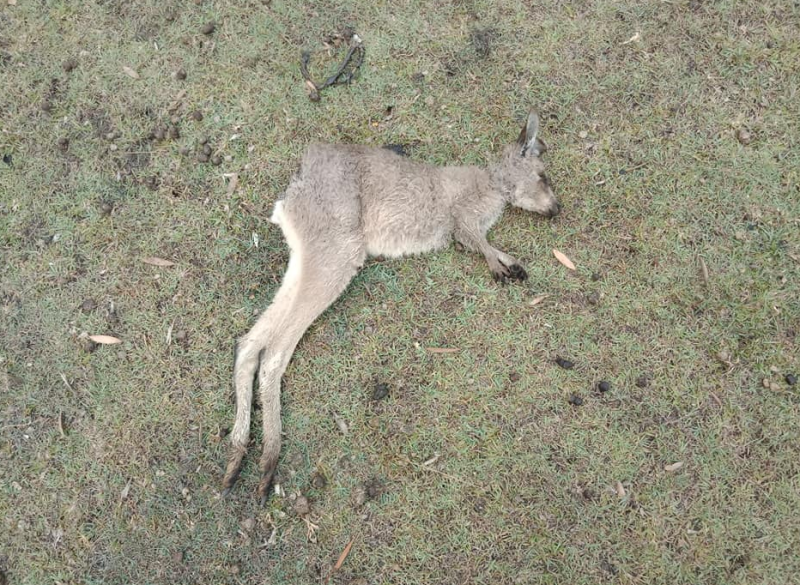 Pictured is the kangaroo missing its tail, with a hole in its rear end. Source: Facebook