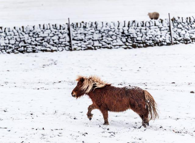 A pony plays in the snow near Millhouse Green