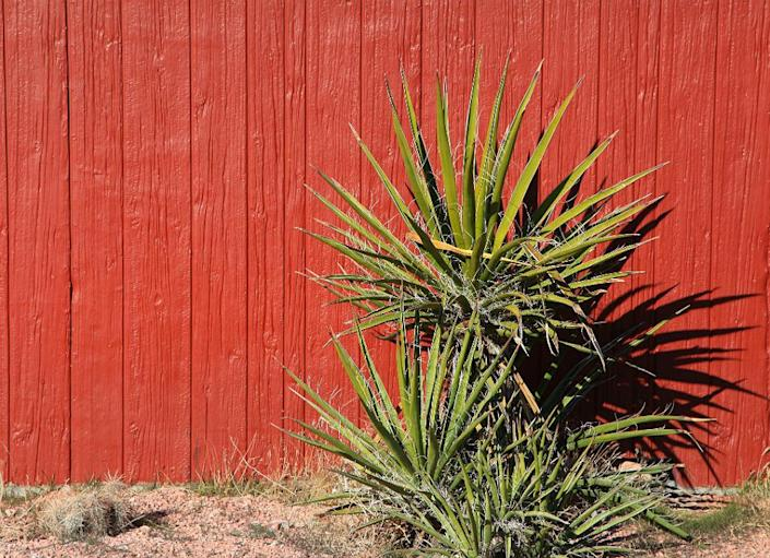 """<body> <p>A yucca plant in the yard can be a problem child, as it requires a lot of maintenance. Its sharp, pointy leaves need to be discarded after they're spent, and stalks need to be chopped down. It blooms for only about a week, and yucca attracts lots of bugs. Its root system is pervasive and <a rel=""""nofollow noopener"""" href="""" http://www.bobvila.com/slideshow/5-nearly-kill-proof-houseplants-2330#.VWzElWRViko?bv=yahoo"""" target=""""_blank"""" data-ylk=""""slk:hard to kill"""" class=""""link rapid-noclick-resp"""">hard to kill</a>. Should you want to remove it, you might have to dig up everything around it as well. This distinctive plant is best left in a pot indoors or on the porch.</p> <p><strong>Related: <a rel=""""nofollow noopener"""" href="""" http://www.bobvila.com/slideshow/10-inventive-ideas-for-a-perfect-porch-45791#.VWzEuGRViko?bv=yahoo"""" target=""""_blank"""" data-ylk=""""slk:10 Inventive Ideas for a Perfect Porch"""" class=""""link rapid-noclick-resp"""">10 Inventive Ideas for a Perfect Porch</a> </strong> </p> </body>"""