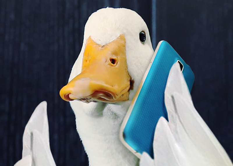 Duck holding a blue mobile phone to its head, holding it with its wing.