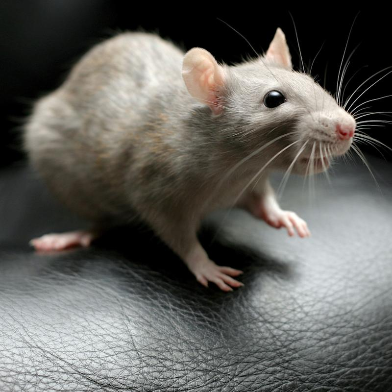 Fancy rat on edge of black leather chair, one paw raised in air.