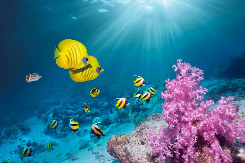 Coral reef scenery with Golden butterflyfish (Chaetodon semilarvatus) and Red Sea bannerfish (Heniochus intermedius). Egypt, Red Sea.