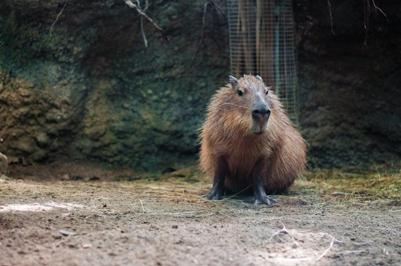 A capybara standing with a rock wall behind it