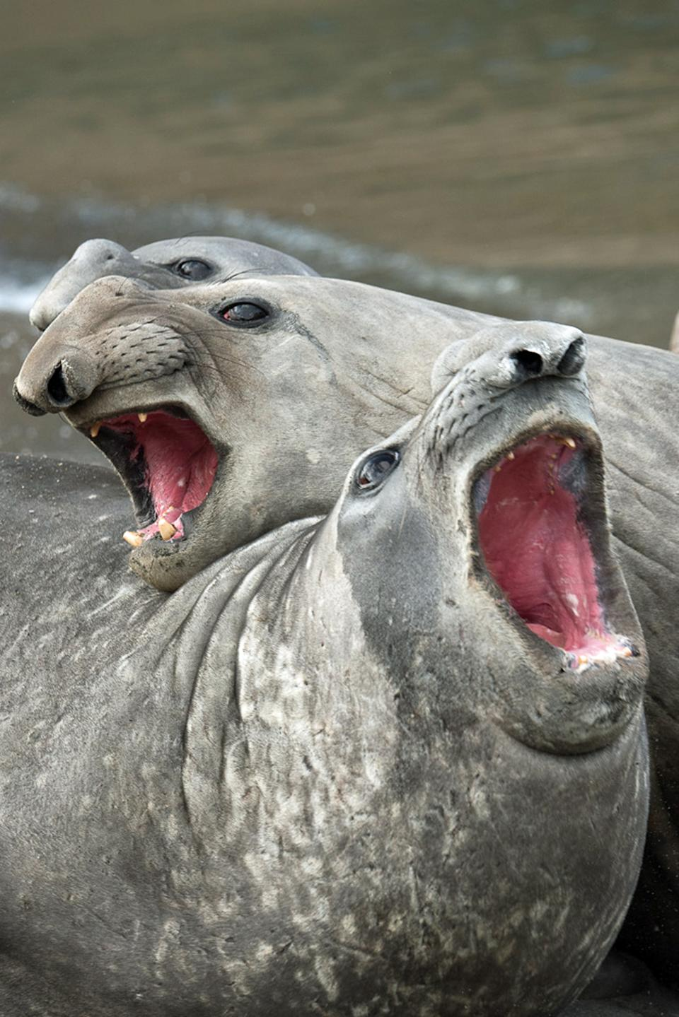 A trio of elephant seals appear to be doing their best impression of the Three Tenors. (Photo: Roie Galitz/Caters News)