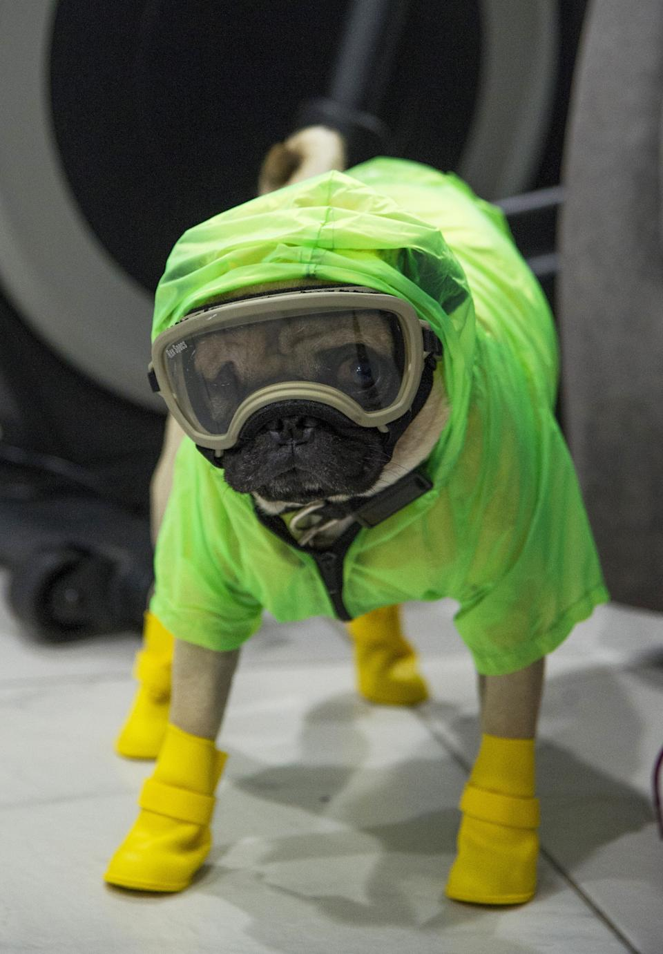 Harley, a three-year-old Pug puppy, wears protective equipment to prevent the spread of the new coronavirus, COVID-19, in Mexico City, on May 13, 2020. Harley gives support and emotional assistance to doctors and nurses, who have already spent at least 50 days in the first line treating patients with COVID-19. (Photo by CLAUDIO CRUZ / AFP)