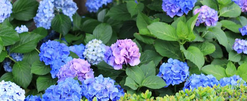This Trick Will Magically Turn the Shade of Your Hydrangeas