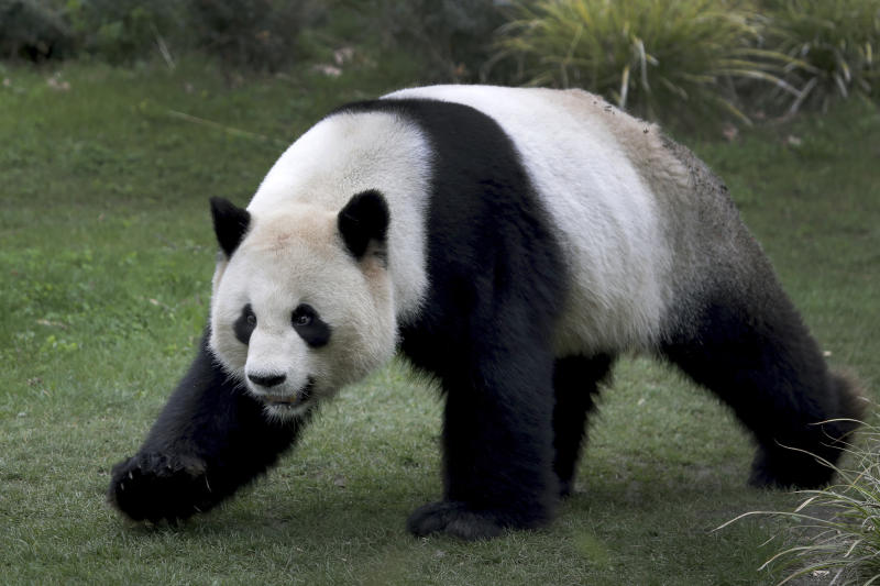Male panda Jiao Qing walks in its enclosure at the Zoo in Berlin, Germany, Friday, April 5, 2019. (AP Photo/Michael Sohn)