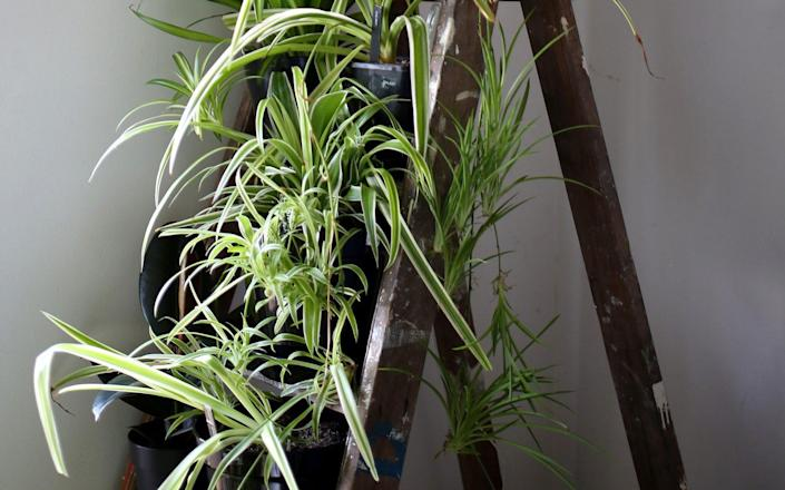 Spider plants standing on a ladder, as seen in the living room of houseplant expert Mercy Morris' home - Clara Molden