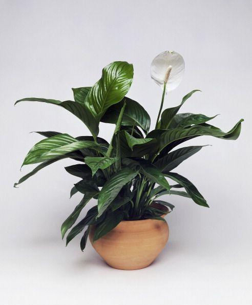 "<p><a class=""link rapid-noclick-resp"" href=""https://www.amazon.com/Friendship-Foliages-Quality-Spathiphyllum-14-18in/dp/B0842C644P/?tag=syn-yahoo-20&ascsubtag=%5Bartid%7C10057.g.30655732%5Bsrc%7Cyahoo-us"" rel=""nofollow noopener"" target=""_blank"" data-ylk=""slk:BUY NOW"">BUY NOW</a> <em><strong>Peace Lily, $26, amazon.com</strong></em></p><p>Not only would peace lilies make a gorgeous addition to any kitchen, but they're great at cleaning the air around them. They enjoy high humidity and can tolerate short periods of underwatering. It's best to keep them in an east-facing window, so they're in a bright, well-lit area but can avoid direct afternoon sunlight.</p>"