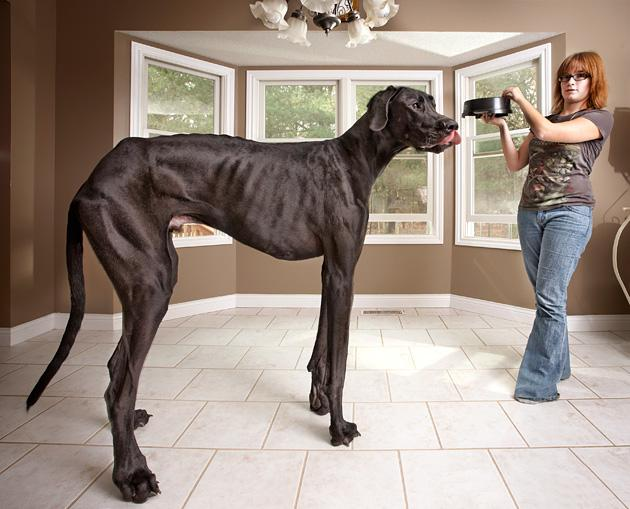 "A handout picture released by Guinness World Records on September 13, 2012 and taken on November 3, 2011 shows 3 year-old Great Dane called Zeus (L) from Otsego, Michigan in the US which is featured in the new Guinness World Records 2013 book as the tallest dog ever, measuring 111.8 cm (44 in) from foot to withers and Zeus's owner Denise Doorlag (R).  A Great Dane who towers 2.2 metres (7 feet 4 inches) on his hind legs is named the tallest dog ever recorded in the latest Guinness Book of World Records launched on September 13, 2012. The giant canine from Michigan in the United States eats an entire 14-kilogram (30-pound) bag of food every day and weighs in at 70.3 kilograms, the 57th edition of the global records book says.  RESTRICTED TO EDITORIAL USE - MANDATORY CREDIT ""AFP PHOTO / GUINNESS WORLD"