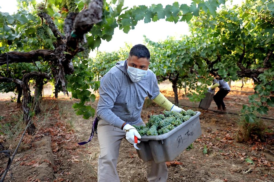 """Farmworkers pick white wine grapes grown for Massican Winery. <span class=""""copyright"""">(Gary Coronado / Los Angeles Times)</span>"""