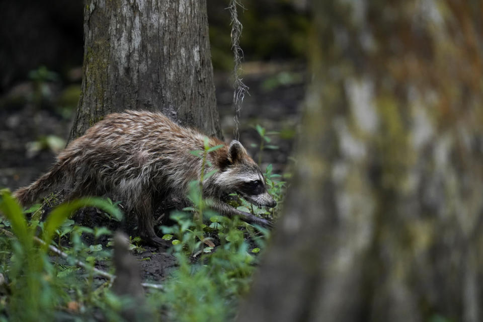 A raccoon walks through a wooded area on Avery Island, La., where Tabasco brand pepper sauce is made, Tuesday, April 27, 2021. As storms grow more violent and Louisiana loses more of its coast, the family that makes Tabasco Sauce is fighting erosion in the marshland that buffers it from hurricanes and floods. (AP Photo/Gerald Herbert)