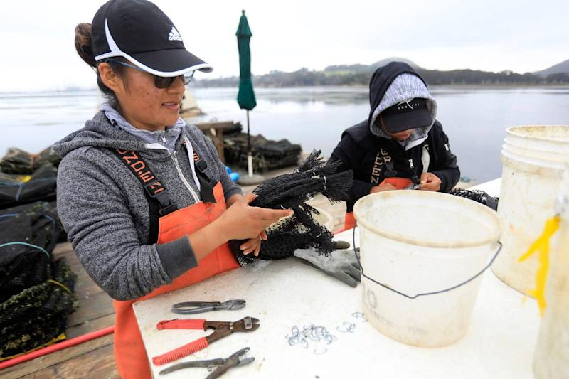 Carolina Hernandez, left, and Jenny Sorto preps bags used to hold the freshly harvested oysters at the Grassy Bar Oyster Co. in Morro Bay.