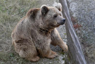 A sick brown bear sits at his enclosure in the Marghazar Zoo, in Islamabad, Pakistan, Wednesday, Dec. 16, 2020. A pair of sick and neglected dancing Himalayan brown bears will leave Islamabad's notorious zoo Wednesday for a sanctuary in Jordan, closing down a zoo that once housed 960 animals. The Marghazar Zoo's horrific conditions gained international notoriety when Kaavan, dubbed the world's loneliest elephant, grabbed headlines and the attention of iconic American entertainer Cher. (AP Photo/Anjum Naveed)