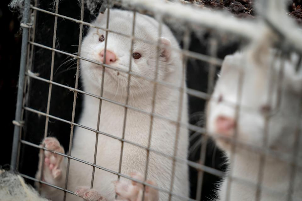 About 3,000 mother minks and their cubs were killed at one farm in Denmark, where a mutated variation of the coronavirus has infected minks being farmed for their fur.