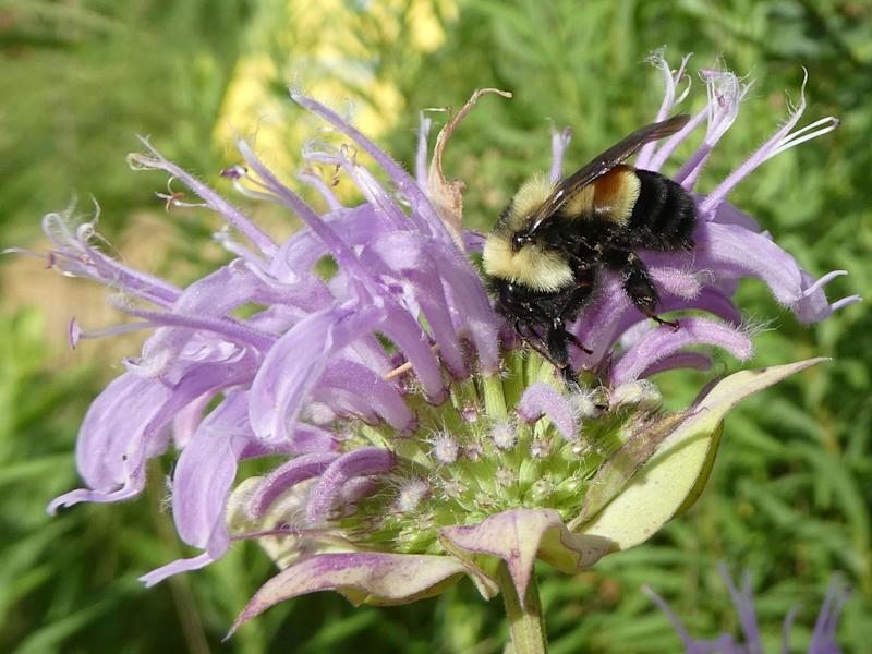A rusty patched bumblebee next to a flower in Minnesota, US: arah Foltz Jordan/The Xerces Society via AP