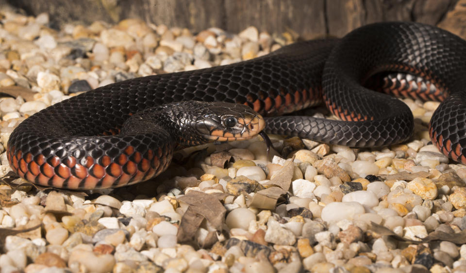 A red-bellied black snake on some pebbles.