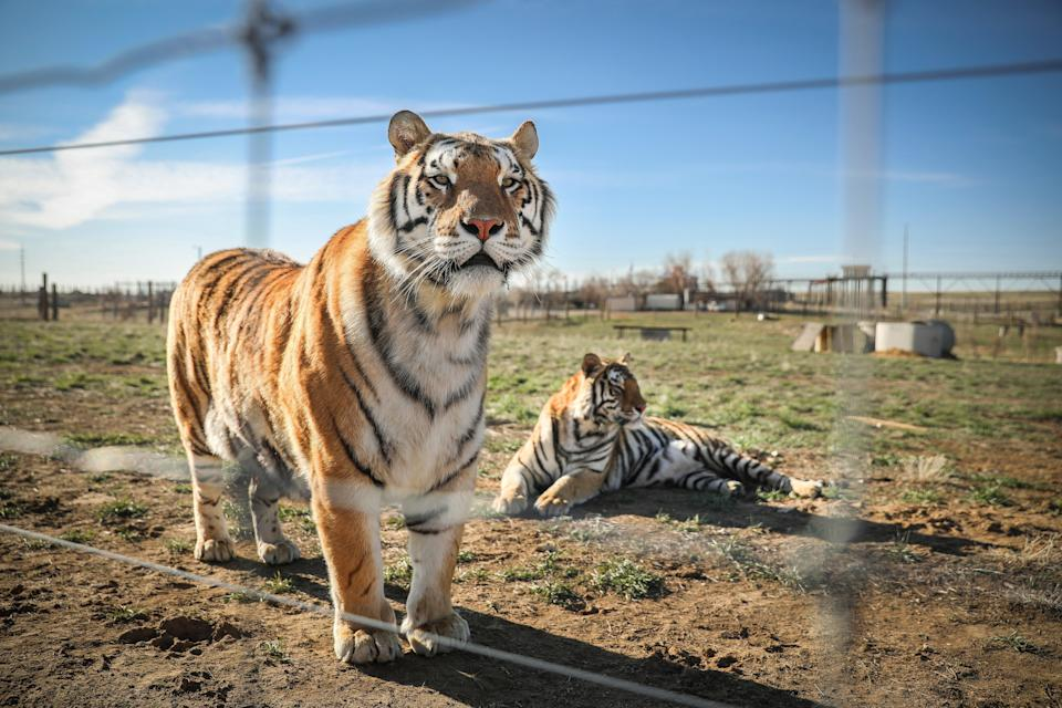 <p>A pair of the 39 tigers rescued in 2017 from Joe Exotic's GW Exotic Animal Park relax at the Wild Animal Sanctuary on 5 April 2020 in Keenesburg, Colorado</p> ((Getty Images))