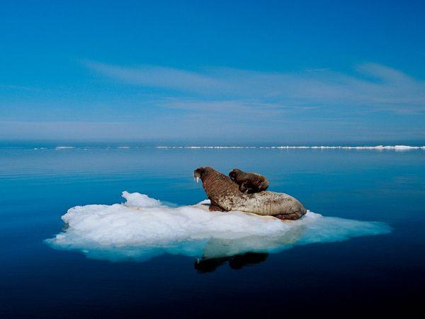 A walrus and her calf rest on a piece of multiyear ice in Foxe Basin, Canada. The floating ice keeps them perched over favorite feeding grounds—clam beds—and allows the mother to whisk her calf to safety in the water should a polar bear appear.