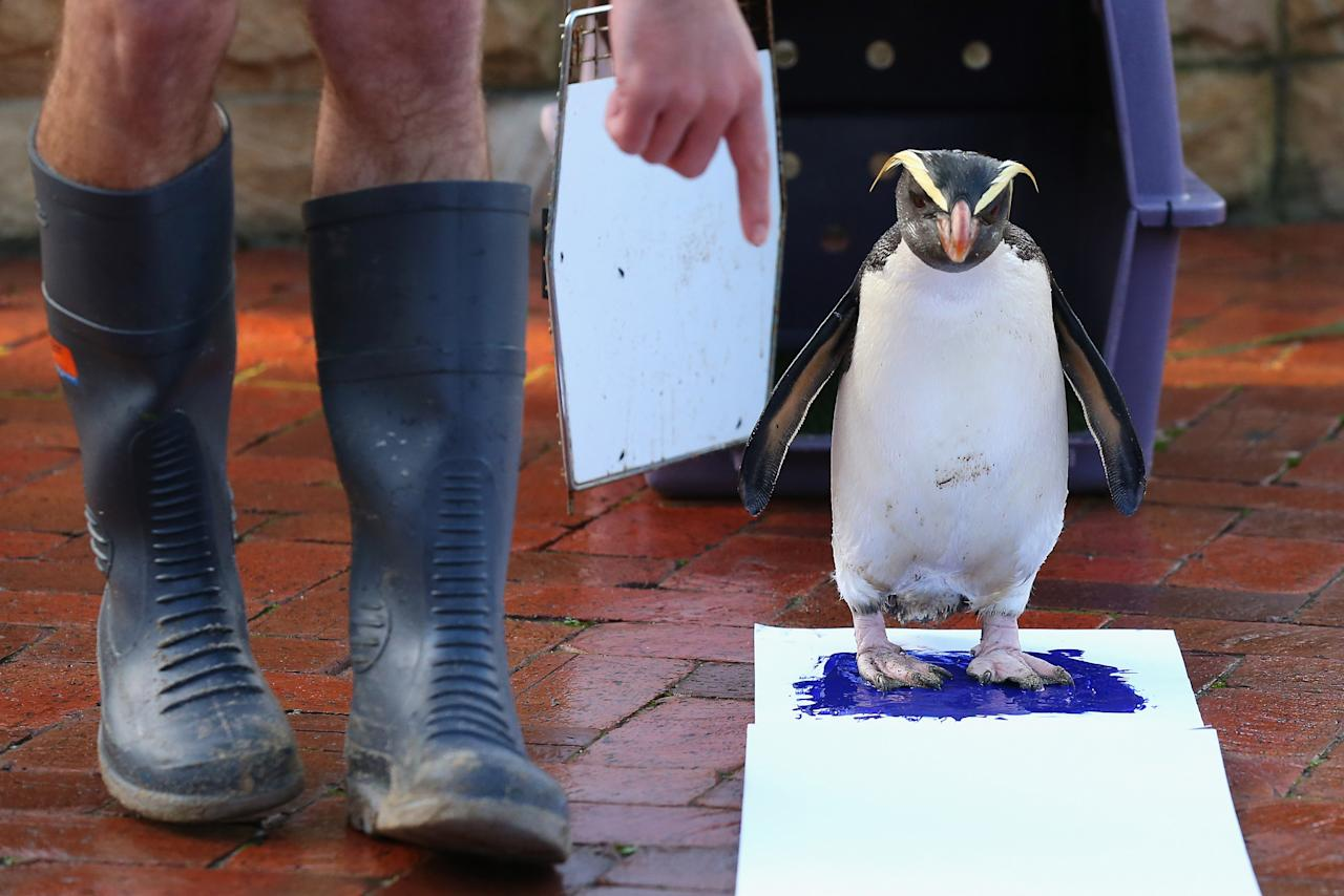 'Mr Munro' a Fiordland penguin paints his prints on a canvas at Taronga Zoo on June 27, 2012 in Sydney, Australia. Taronga and Western Plains Zoo today pledged a a new elephant conservation project in Thailand and animals at Taronga made their pledge by dipping their feet and hands in paint and smudging them on canvas.  (Photo by Cameron Spencer/Getty Images)