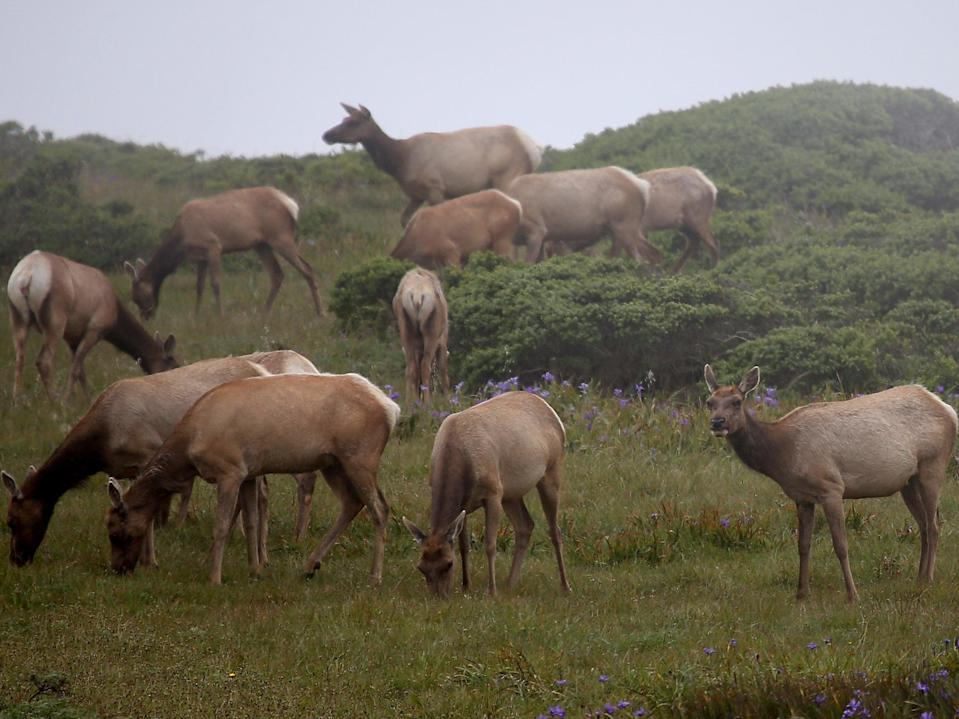 Tule Elk graze on grass in a field at Point Reyes National Seashore Elk Preserve on April 19, 2015 in Point Reyes Station, California. (Getty Images)