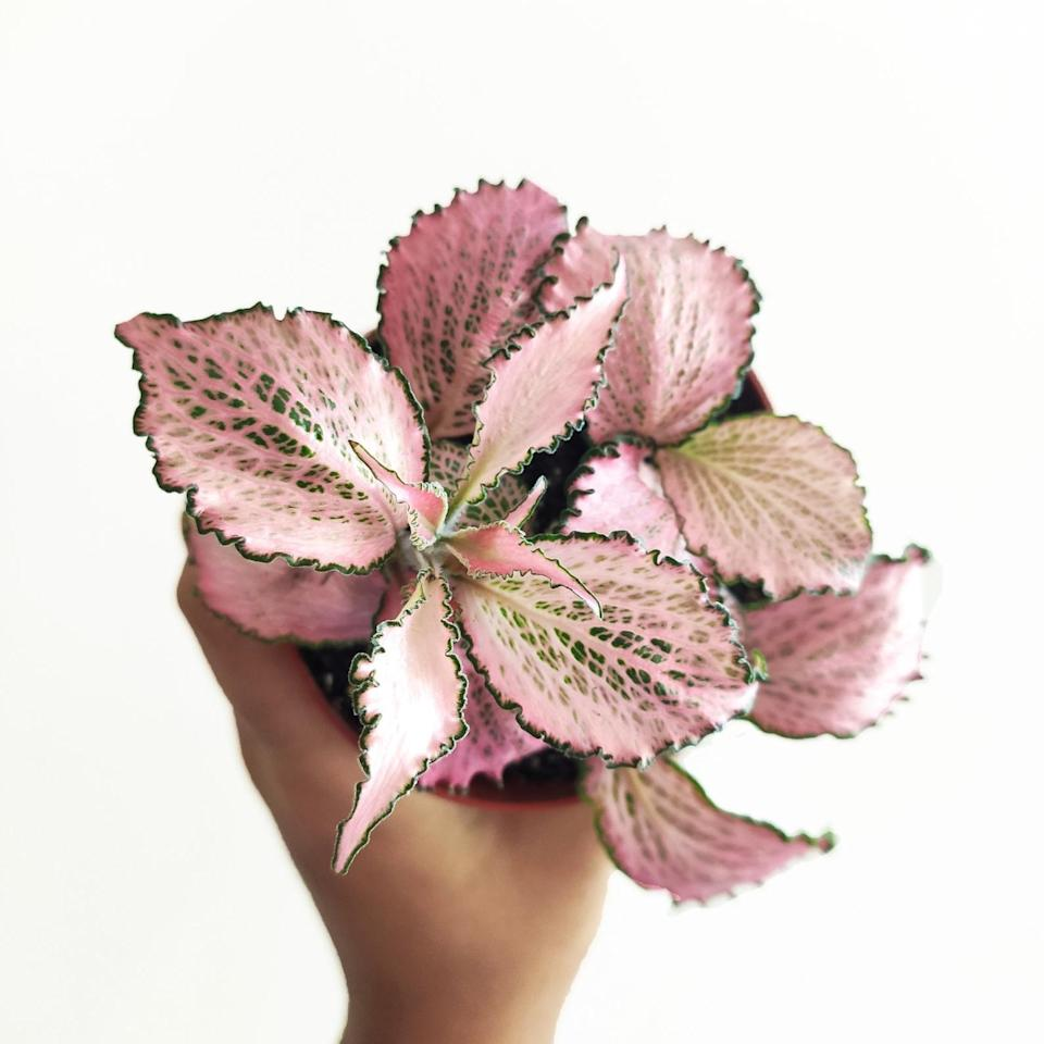 <p>The <span>Fittonia Pink</span> ($9) is a South American plant that requires very little care. </p>