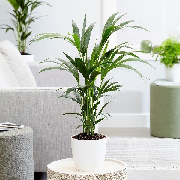 "<p>Kentia palms are stunning houseplants that will bring the feeling of the tropics to your home. As well as being air-purifying, resilient and elegant, they are safe to have around pets. No need to worry if your furry friend gets a little too close...</p><p><a class=""link rapid-noclick-resp"" href=""https://go.redirectingat.com?id=127X1599956&url=https%3A%2F%2Fwww.crocus.co.uk%2Fplants%2F_%2Fhowea-forsteriana%2Fclassid.2000027701%2F&sref=https%3A%2F%2Fwww.housebeautiful.com%2Fuk%2Fgarden%2Fplants%2Fg35160955%2Fdog-friendly-plants%2F"" rel=""nofollow noopener"" target=""_blank"" data-ylk=""slk:BUY NOW VIA CROCUS"">BUY NOW VIA CROCUS</a></p>"