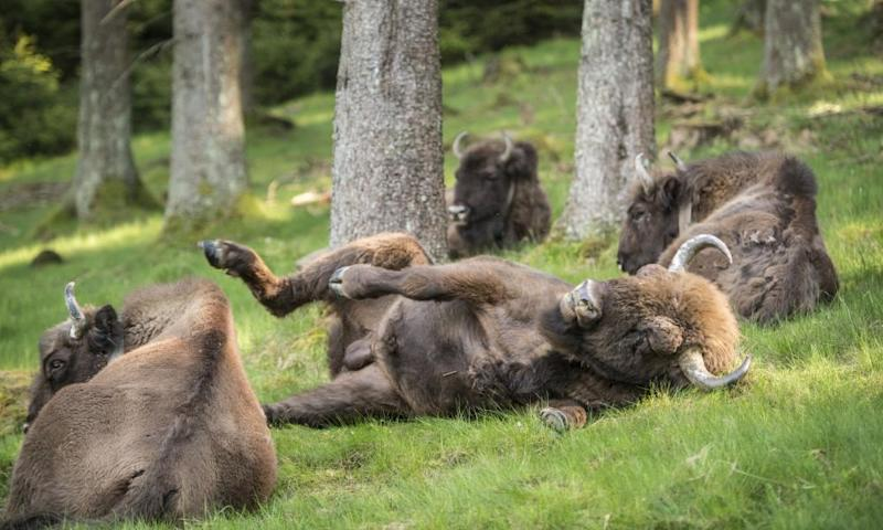 A herd of European bison relax in the Rothaargebirge mountain range near Bad Berleburg, Germany, May 2014.