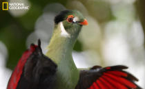 """As a bird trainer at the National Aviary I get to work around a wide variety of captive birds, but I find very few as visually stunning as the white-cheeked turaco. Turaco flight feathers contain a red, copper-based pigment called turacin, and it is found nowhere else in the animal kingdom. It is most visible in flight, while the wings are spread. I was fortunate to catch this turaco at an opportune time, exposing its beautiful pigmented feathers. (Photo and caption Courtesy Michael Faix / National Geographic Your Shot) <br> <br> <a href=""""http://ngm.nationalgeographic.com/your-shot/weekly-wrapper"""" rel=""""nofollow noopener"""" target=""""_blank"""" data-ylk=""""slk:Click here"""" class=""""link rapid-noclick-resp"""">Click here</a> for more photos from National Geographic Your Shot."""