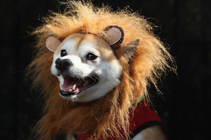 Kuma, a Shibu Inu, poses as a lion at the Tompkins Square Halloween Dog Parade. (Photo by John Moore/Getty Images)