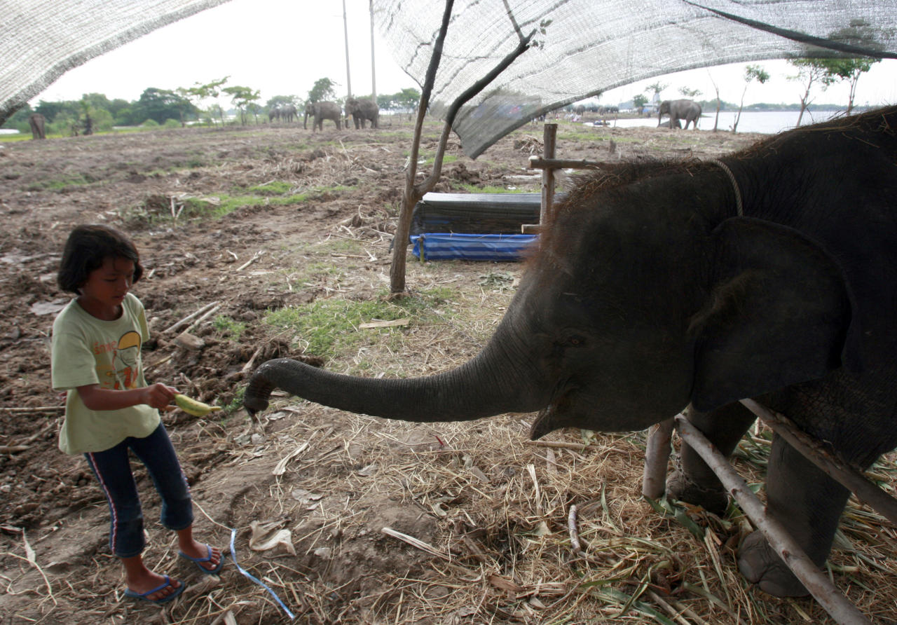 In this photo taken Monday, Oct. 31, 2011, a Thai girl feeds a stranded elephant with banana at a shelter for floods victims in Ayutthaya province, central Thailand. Seventeen out of ninety-two elephants were stranded at the elephant camps in Ayutthaya province following floods that submerged north and central part of the country for more than two months. (AP Photo/Apichart Weerawong)