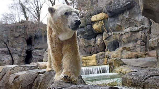 """PHOTO: The Cincinnati Zoo announced in a statement on Saturday, March 27, 2021, that the 31-year-old polar bear known as """"Little One"""" was humanely euthanized after suffering from renal failure that led to a rapid decline in his health and quality of life. (Cincinnati Zoo/Kathy Newton)"""